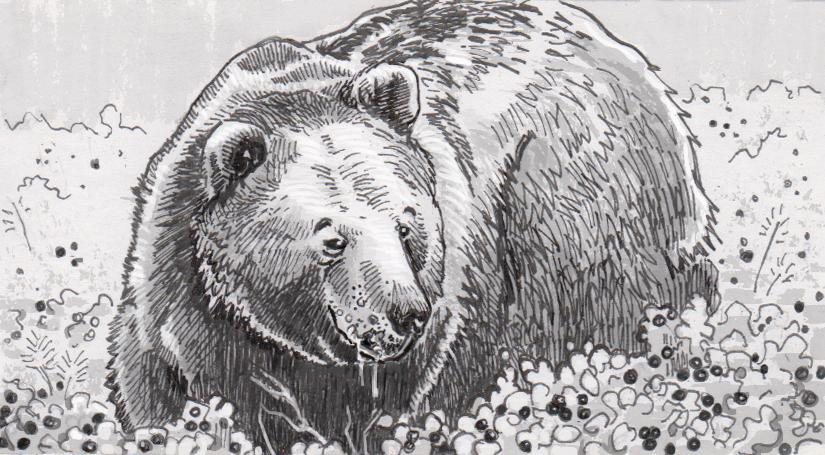 Ursus abstrusus in a field of lingonberries