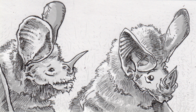 Fringe-lipped bat watching a white-throated round-eared bat