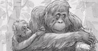 Female orangutan treating sore muscles with pureed Dracaena cantleyi leaves