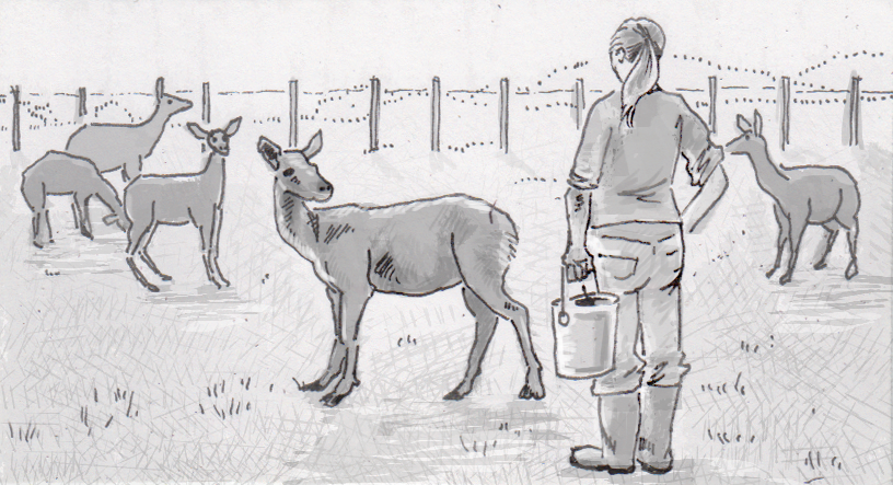 Farmer about to milk red deer in New Zealand