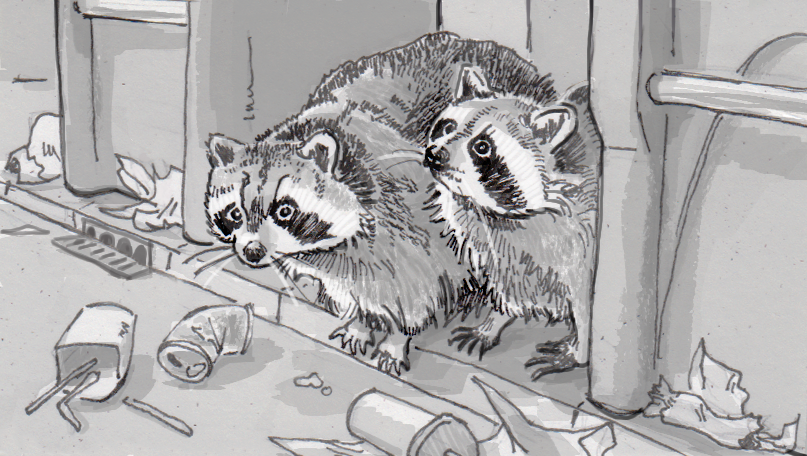 Two fat raccoons foraging for garbage