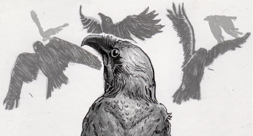 Crows mobbing a raven