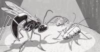 Aphidius ervi hunting aphids